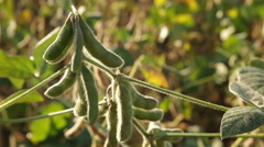 Soybean field in late ripening stage Stock Footage