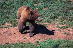 North American Grizzly Bear at sunrise in Western USA Stock Photos