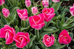 Pink tulip bulbs in flower Stock Photos