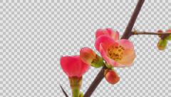Japanese crab-apple flower with alpha timelapse Stock Footage