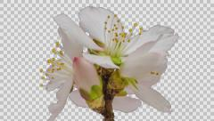 Apricot flower blossom timelapse with alpha Stock Footage