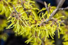 Witch-hazel shrub in bloom - stock photo