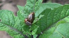 Two colorado potato beetles mating on potato Stock Footage