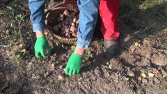 Stock Video Footage of Gardener digging Jerusalem artichoke tubers