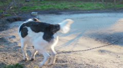 A dog on a chain - stock footage