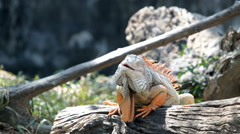 Iguana on a tree HD Stock Footage
