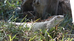 Iguana on a tree HD - stock footage