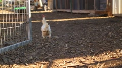 White Rooster Crowing in the Yard Stock Footage