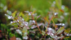 Dewdrops in Summer on the Grass Stock Footage