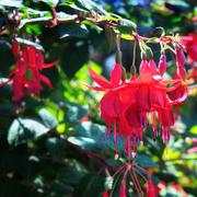 delightful fuchsia - stock photo