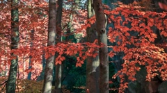 Defoliation in the autumn forest Stock Footage