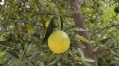 Picking fresh yellow lemon fruit Stock Footage
