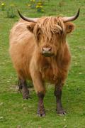 Highland aberdeen angus cow grazing green grass Stock Photos