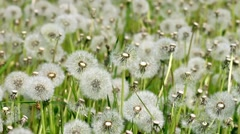 Overblown white dandelions on sunny day Stock Footage