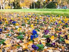 Pansy flowerbed Stock Photos