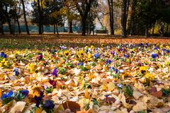 Flowers in fallen leaves Stock Photos
