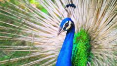 Peacock tail up with beautiful colorful and vibrant feathers moves around Stock Footage