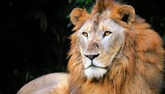 Big male lion wakes up after sleep and looks at camera close up view Stock Footage