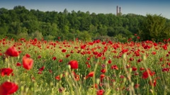 Fields of blossom poppy in suburban zone. Stock Footage