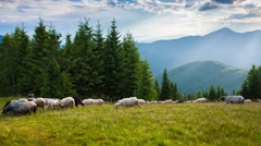Sheep on alpine pasture in summer evening. Stock Footage