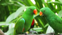 Green Eclectus parrot feeds grown baby on tree branch in natural environment Stock Footage