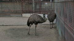 Two grey ostriches in a zoo near the cage Stock Footage