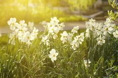 Beautiful white daffodil Stock Photos