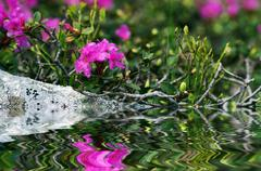 rhododendron in the Carpathians mount. Close up. - stock photo