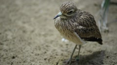 Eurasian curlew (Numenius arquata) Stock Footage