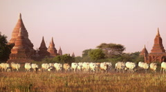 Cattle herd going through sunset landscape with Buddhist pagodas. Bagan, Myanmar - stock footage