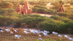 Cattle herd going through sunset landscape with Buddhist pagodas. Bagan, Myanmar Stock Footage