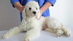 Massage dog in veterinary clinic - stock footage