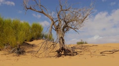 Sahara Landscape, Dunes and a Withered Tree Stock Footage