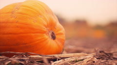 Rack focus of pumpkins at a pumpkin patch Stock Footage