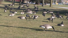 Geese bask in record warm Chrismas eve 2015 temperatures - stock footage