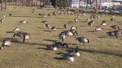 Geese bask in record warm Chrismas eve 2015 temperatures Stock Footage