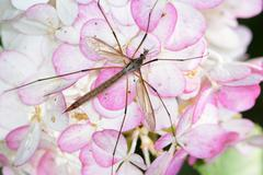 Crane fly with long legs on a flower blossom - stock photo