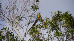 Brazilian parrot macaw eating feed on tree branch. Stock Footage