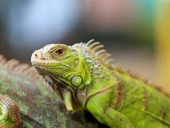 green lizard iguana - stock photo