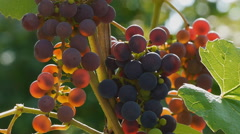 Bunches of grapes ripening on Sun - stock footage