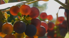 Bunches of grapes ripening on sun Stock Footage