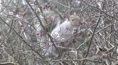 A grey squirrel is eating red berries from a bare tree Stock Footage