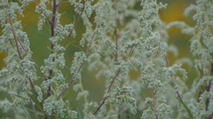 Mugworts Artemisia vulgaris bush Stock Footage