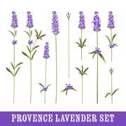 Set of lavender - stock illustration