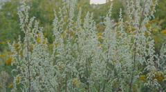 Mugworts Artemisia vulgaris bush - stock footage