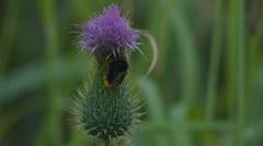 Humble-bee sitting on a Carduus crispus flower - stock footage