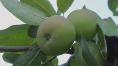 Green apples on a branch Stock Footage