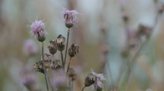 Withered Cirsium arvense flowers Stock Footage