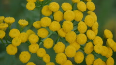 Tanacetum vulgare inflorescence Stock Footage