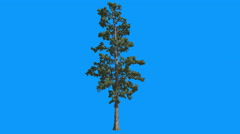 Eastern White Pine Pinus Strobus Thin Tree Swaying at The Wind in Summer Blue Stock Footage